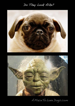 Funny Star Wars Quotes Yoda Funny pug pictures (31 pics)