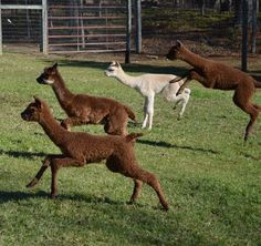 Lasso the Moon Alpaca Farm in Blairsville, GA http://www.alpacainfo ...