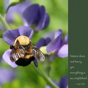 Heidi Hermes › Portfolio › Bumble Bee on Baptista: Lao Tzu quote