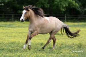 ... grulla overo Spanish Mustang mare and buckskin tobiano AWR gelding