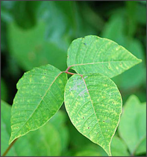 Poison Ivy Myths And Facts