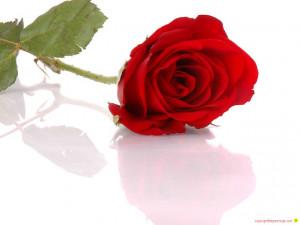 red rose red rose red rose