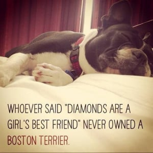 Boston Terriers are a Girl's Best Friend