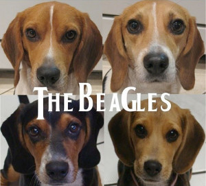 Funny photos funny beagles dogs The Beatles