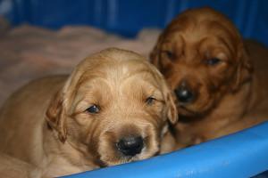 Christmas Golden Retriever puppies!-puppies-11-18-13-018-jpg