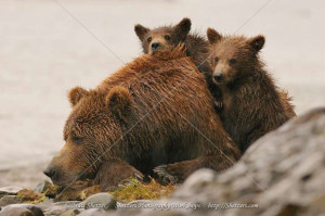 Grizzly Bear napping with cubs
