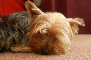 Funny Yorkshire Terrier Pictures