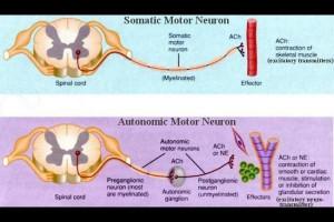 Somatic nervous system - Central nervous system