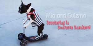 Fashionable Boston Terriers Scootering in Converse Sneakers! (Video)