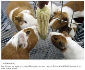 Unusual Guinea Pig Festival (8 pics)