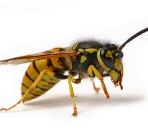 ... wasp wasps hornets are much larger than honeybees wasps are bright