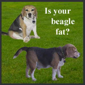 home about beagles breed information breeders juniors about the club
