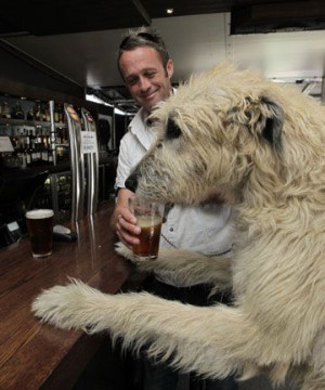 wolfhound drinking Guinness in a pub. Brilliant!: Drinks Beer In ...