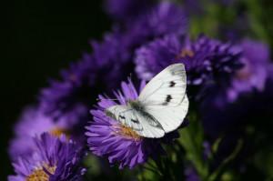 purple violet flower