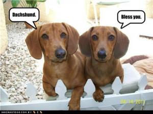 funny dachshund photos 9