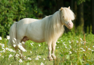 Adorable Photos of Miniature Horses from Around the Globe