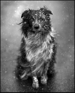 australian shepherd dog puppy cute snow winter portrait james walker ...