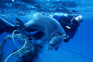 Entangled seal by derelict net, Hawaii. Photo Source: NOAA
