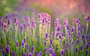 lavender Flowers Widescreen Wallpaper