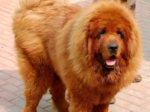 Really Big Dog Breeds