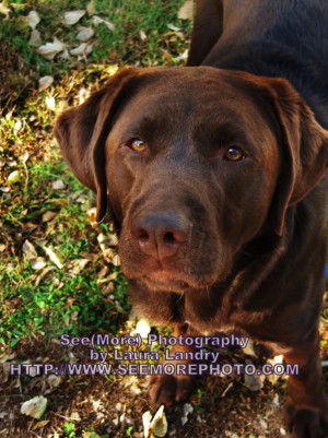 Chocolate Lab looking up at the camera, standing in green grass ...