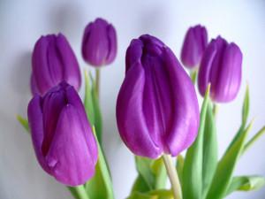 Tulip flower wallpaper wallpaper tulip flower Tulip wallpaper for ...