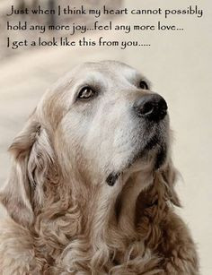 Golden Retriever Quotes And Sayings Quotesgram
