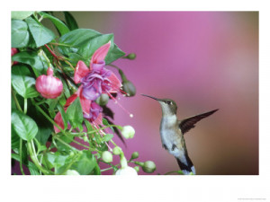 Hummingbird Poems and Quotes