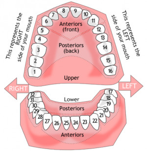 Tooth # Concern (missing, broken, loose, discolored) Explanation of ...