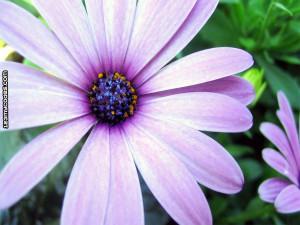 myspace backgrounds flowers backgrounds lavender flower