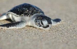 animal, cute, turtle