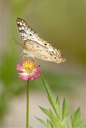 """beautiful """" Butterfly Effect """" …"""