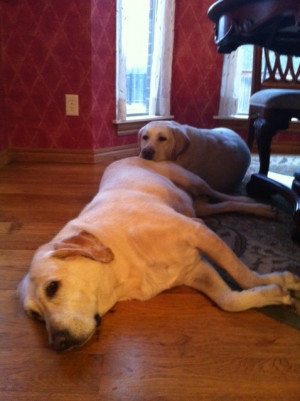 Cute Labrador Retriever Pictures and Quotes About Labs