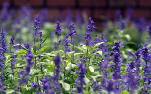 lavender color flower photos