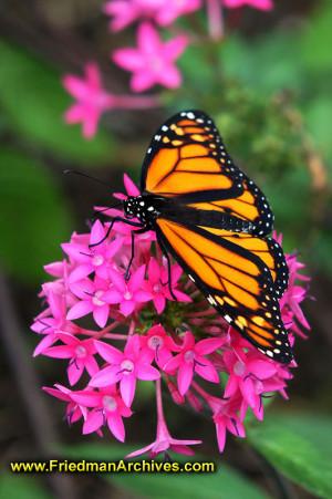 butterfly,monarch,flower,pink,yellow,black,macro,low,light,