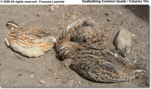 ... commonquails html i gather that the coturnix quail is the jap quail