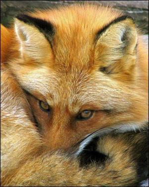 red fox ~ gorgeous!