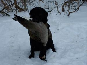 Black Lab Goose Hunting