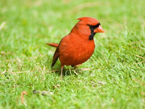 Male Cardinal Bird Quotes