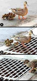 even ducks have poor parenting skills