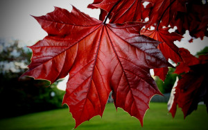 Red Maple Leaf | 1440 x 900 | Download | Close