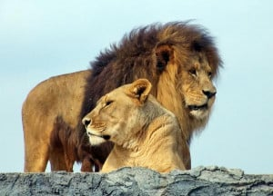 ... he crouches and lies like a lion and like a lioness who will dare