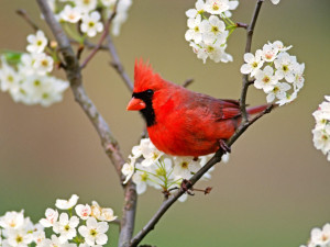 ... -pear-tree-blossoms-with-red-birds-cardinal-birds-pictures.Jpg