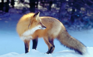 狐狸图片 是雪地里的小狐狸高清图片下载,狐狸 ...