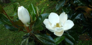 How to Grow Magnolia Trees from Seed | Today's Homeowner