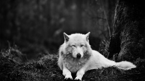 White Wolf Wolves HD Wallpaper #2678