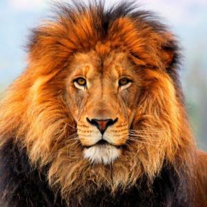 caractéristique du lion le lion est le plus grand carnivore d afrique ...