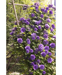 Longest Flowering Puffy Flowered Clematis 4 pc.