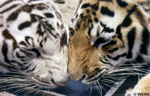 love white tiger white tiger and tiger love what the white tigers told ...