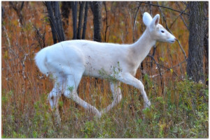 Beautiful White Deer Running In The Forest